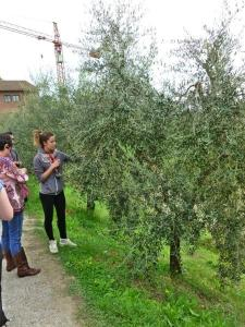 A tour of the farm includes examination of the near-ripe olives...